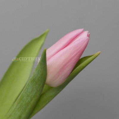 Тюльпан Аафке | Aafke Tulip
