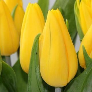 Тюльпан Стронг Голд | Strong Gold Tulip