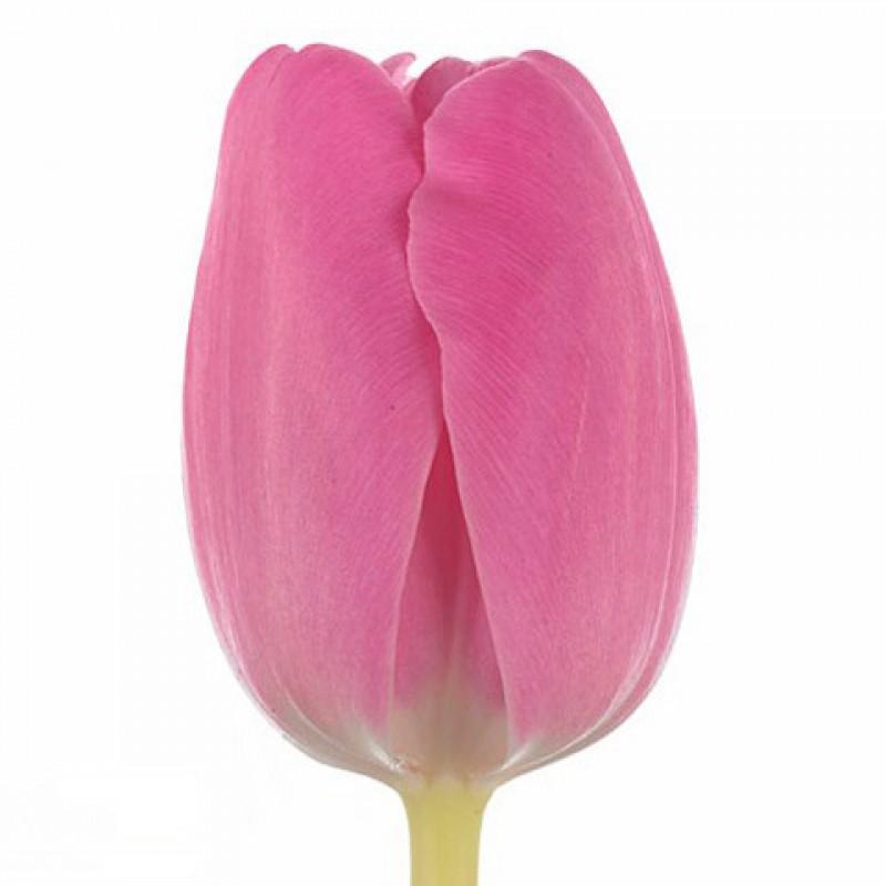 Купить тюльпаны оптом спб