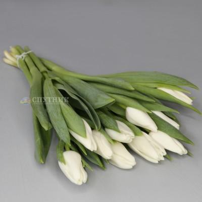 Купить белые тюльпаны в спб