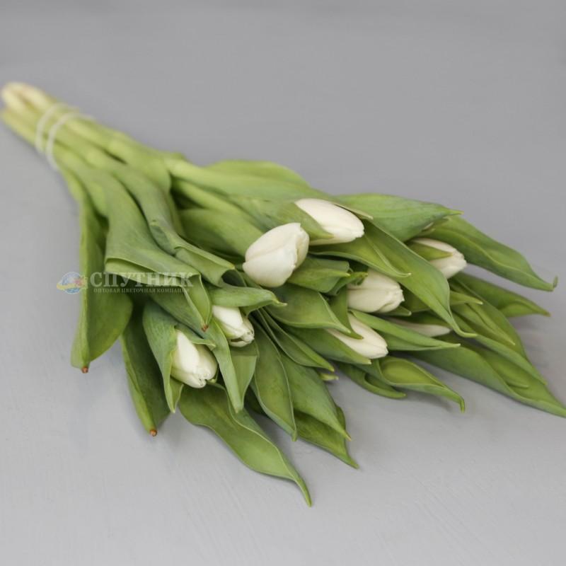 Купить белые тюльпаны оптом