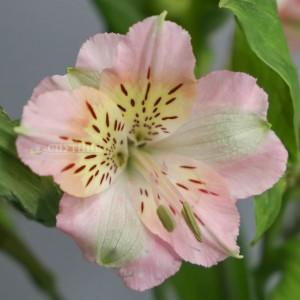 Альстромерия светло-розовая Амулет | Alstroemeria Amulet