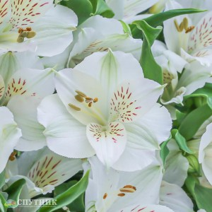 Альстромерия белая | Alstroemeria Whistler White