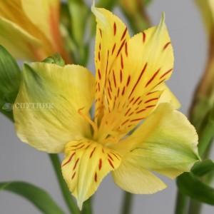 Альстромерия желтая Изола | Alstroemeria Isola