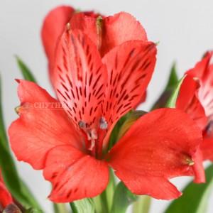 Альстромерия красная Надя | Alstroemeria Nadya