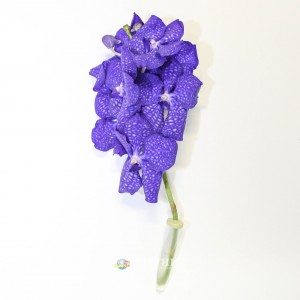 Орхидея Ванда | Orchid Vanda