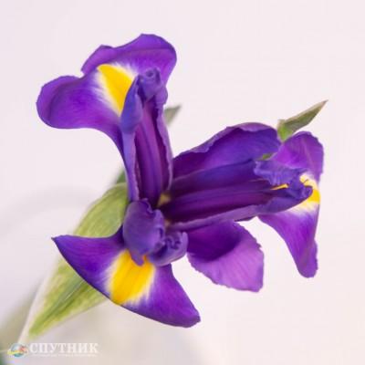 Ирис Блю Мэджик   Iris Blue Magic