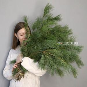 Сосна Пинус Стробус    Pinus Strobus