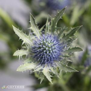 Эрингиум Блю | Eryngium Blue