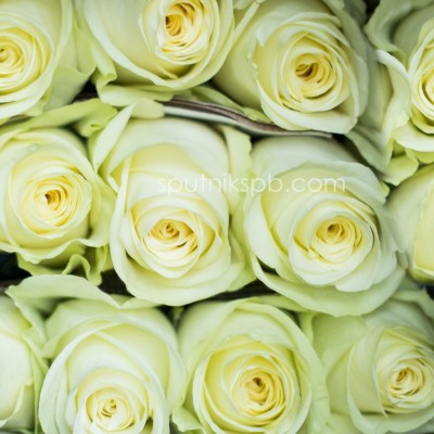 Роза Cocco