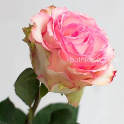 Роза Esperance