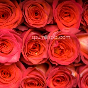 Роза High & Orange Magic