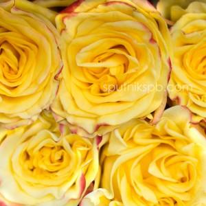 Роза High & Yellow Flame