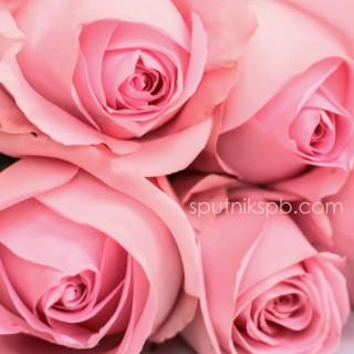 Роза Luciano оптом на сайте Спутник