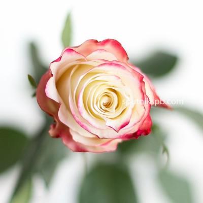 Роза Sweetness оптом на сайте Спутник