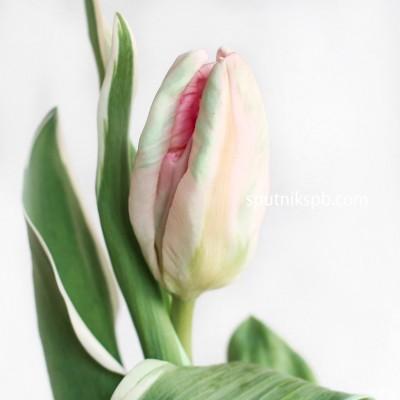 Оптовая цветочная база «Спутник»: купить тюльпаны Elsenburg оптом