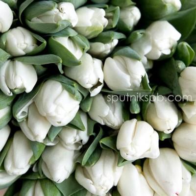 Оптовая цветочная база «Спутник»: купить тюльпаны Snow Hill оптом