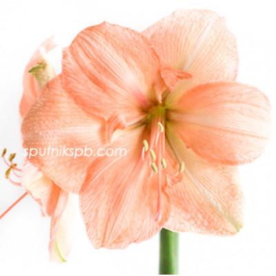 Амариллис (Гиппеаструм) Рилона Пич | Amaryllis Rilona Peach