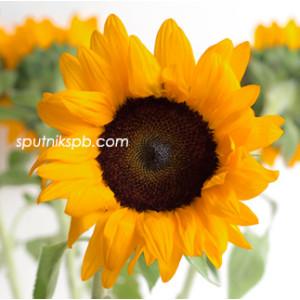 Подсолнух Оранж Фаер   Orange Fire Sunflower