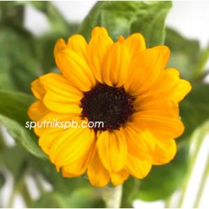 Подсолнух мини Соня   Sonja Sunflower