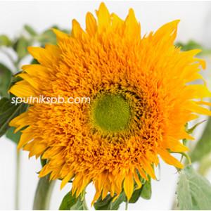 Подсолнух Сан Кинг   Sun King Sunflower