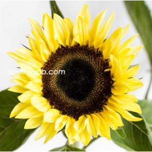 Подсолнух Санрич Лемон   Sunrich Lemon Sunflower