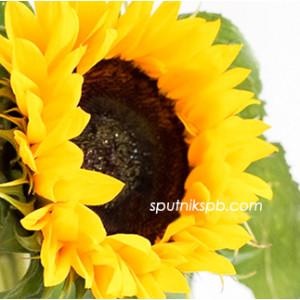 Подсолнух Санрич Оранж   Sunrich Orange Sunflower