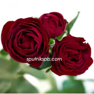 Кустовая красная роза Ruby оптом на сайте Спутник