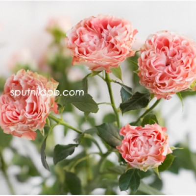 Оптовая цветочная база «Спутник»: купить кустовые розы Fair Flow оптом