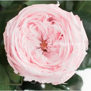 Стабилизированная роза Ver Pink
