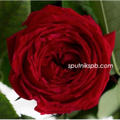 Стабилизированная роза Ver Red