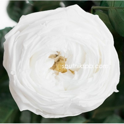 Стабилизированная роза Ver White
