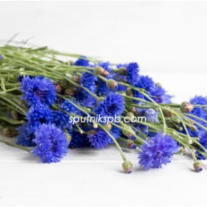 Василёк Cyanus Blue