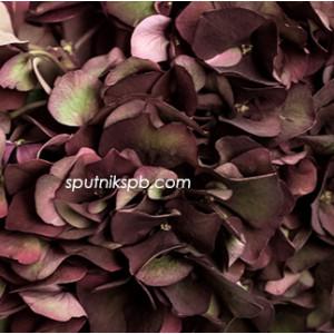 Гортензия Биколор | Hydrangea Bicolor