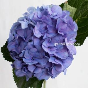 Гортензия сине-фиолетовая
