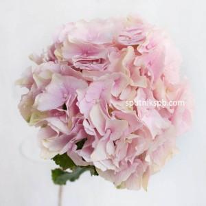 Гортензия Verena Pink