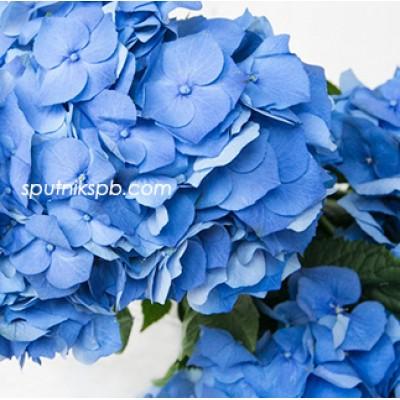 Гортензия Пимпернел Блю, Hydrangea Pimpernel Blue на сайте оптовой цветочной компании СПУТНИК