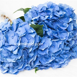 Гортензия Пимпернел Блю | Hydrangea Pimpernel Blue