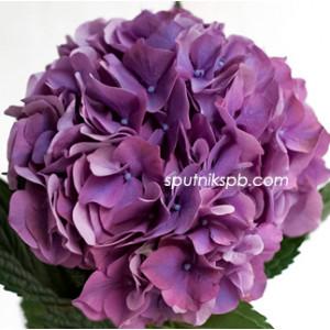 Гортензия Родео Перпл | Hydrangea Rodeo Purple