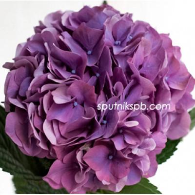Гортензия Rodeo Purple оптом на сайте Спутник