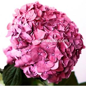 Гортензия Руби Пинк | Hydrangea Ruby Pink