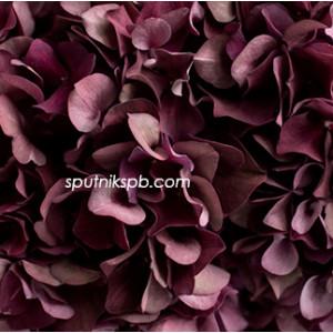 Гортензия Руби Ред Классик | Hydrangea Ruby Red Classic