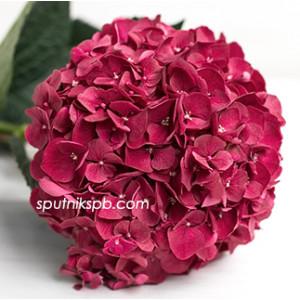 Гортензия Руби Ред | Hydrangea Ruby Red