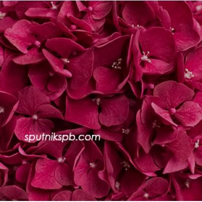 Оптовая цветочная база «Спутник»: купить гортензия Ruby Red
