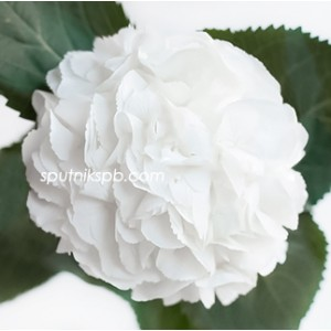 Гортензия Шниболл | Hydrangea Schneeball