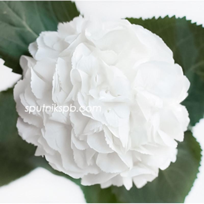 Гортензия Шниболл, Schneeball на сайте оптовой цветочной компании СПУТНИК