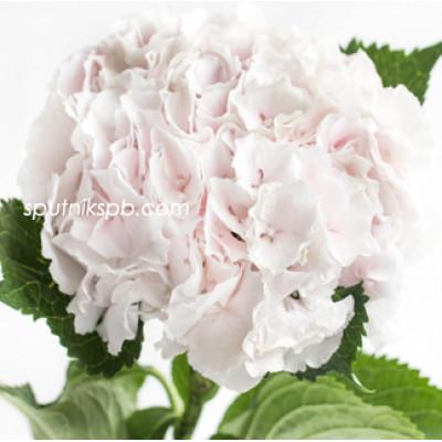 Гортензия Свит Верена | Hydrangea Sweet Verena