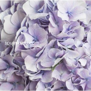Гортензия Вендетта Лавандер | Hydrangea Vendetta Lavender