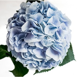 Гортензия Верена Блю | Hydrangea Verena Blue