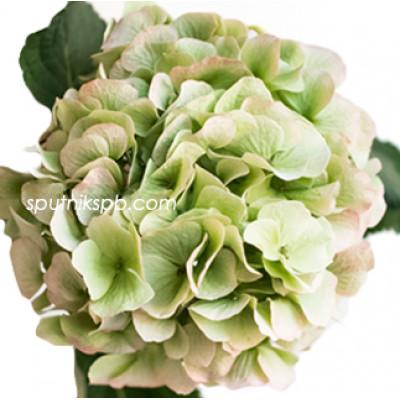 Гортензия Верена Грин | Hydrangea Verena Green